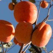 野三坡黄橙橙的大柿子